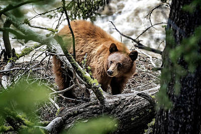 Photograph - Bear In Trees by Scott Read