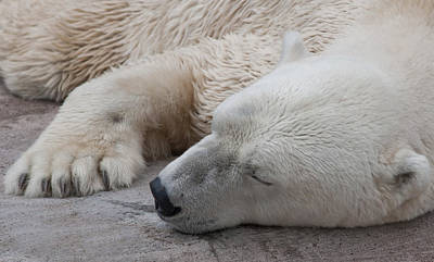 Bear Nap Art Print by Cindy Haggerty