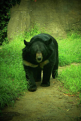 Photograph - Bear On The Prowl by Trish Tritz