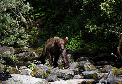 Photograph - Bear On The Rocks by Gloria Anderson