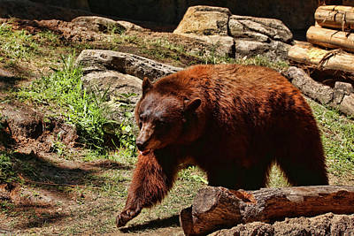 Photograph - Bear Pacing by Judy Vincent