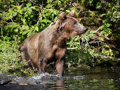 Photograph - Bear Searching by Gloria Anderson