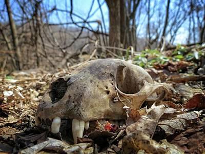 Photograph - Bear Skull by Kyle West