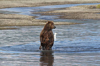 Photograph - Bear Standing In River by David Wilkinson