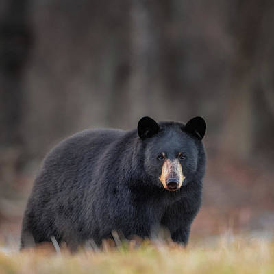 Photograph - Bear Stare Square by Bill Wakeley