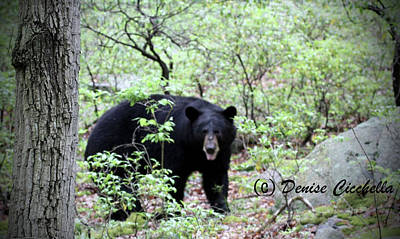 Photograph - Bear With Me by Denise Cicchella