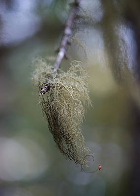 Photograph - Bearded Branch by Lisa Knechtel