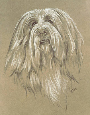Purebred Dogs Drawing - Bearded Collie by Barbara Keith