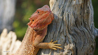 Photograph - Bearded Dragon 1 by Gary Crockett