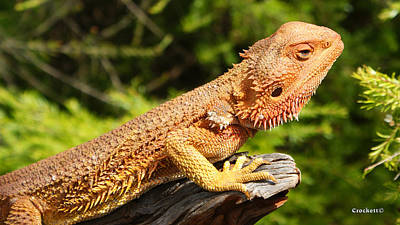 Photograph - Bearded Dragon 10 by Gary Crockett