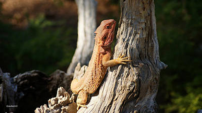 Photograph - Bearded Dragon 2 by Gary Crockett