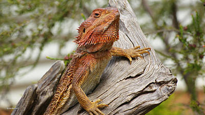 Photograph - Bearded Dragon 3 by Gary Crockett