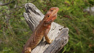 Photograph - Bearded Dragon 4 by Gary Crockett
