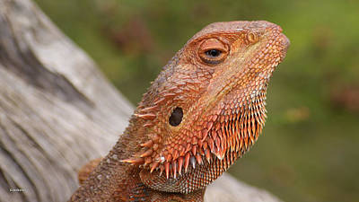 Photograph - Bearded Dragon 5 by Gary Crockett