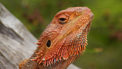 Photograph - Bearded Dragon 6 by Gary Crockett