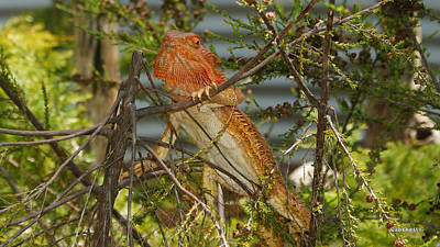Photograph - Bearded Dragon 7 by Gary Crockett