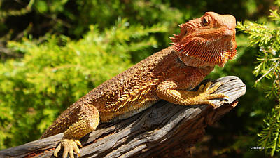 Photograph - Bearded Dragon 8 by Gary Crockett