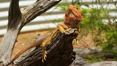 Photograph - Bearded Dragon 9 by Gary Crockett