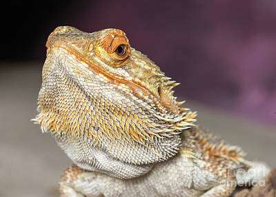 Photograph - Bearded Dragon by Les Palenik