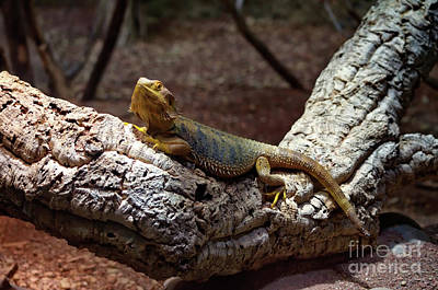Photograph - Bearded Dragon by Michelle Meenawong