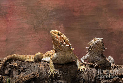 Photograph - Bearded Dragons by Les Palenik