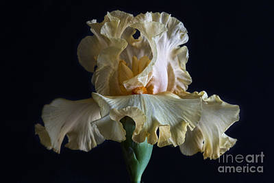Photograph - Bearded Iris 5 by Elena Nosyreva