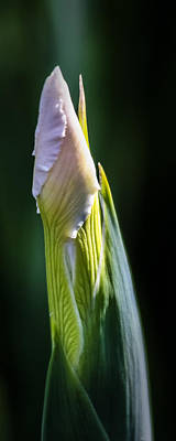 Photograph - Bearded Iris Bud by Albert Seger