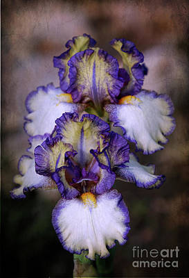 Photograph - Bearded Iris by Elizabeth Winter