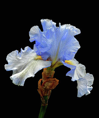 Bearded Iris Art Print by Floyd Hopper