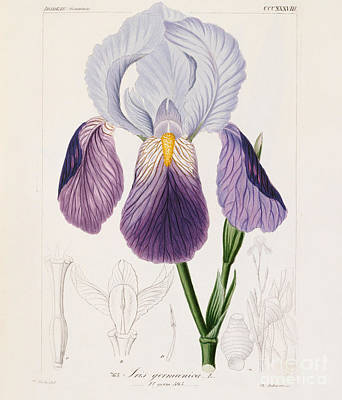 Bearded Iris Painting - Bearded Iris by German School