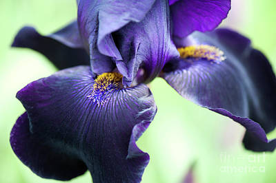 Photograph - Bearded Iris Interpol Flower by Tim Gainey