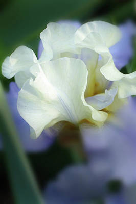 Photograph - Bearded Iris by Jeff Brunton