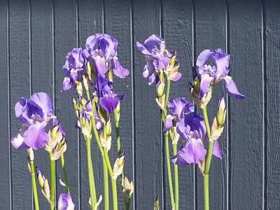 Bearded Iris  Art Print by Laurie Kidd