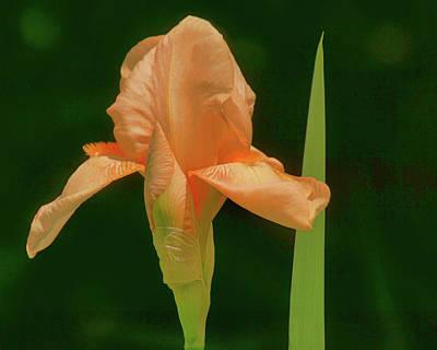Photograph - Bearded Iris by Nikolyn McDonald