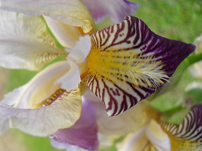 Photograph - Bearded Iris by Peggy King