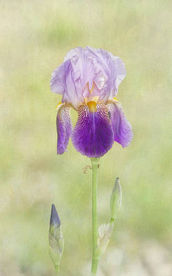 Bearded Iris Art Print