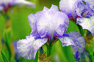 Houseplant Digital Art - Bearded Iris Series  by Geraldine Scull