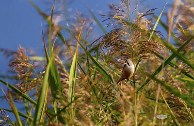 Photograph - Bearded Reedling, Panurus Biarmicus, In The Reeds by Elenarts - Elena Duvernay photo