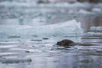 Photograph - Bearded Seal by Lauri Novak