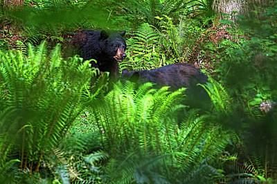 Photograph - Bears In The Ferns by Sharon Talson