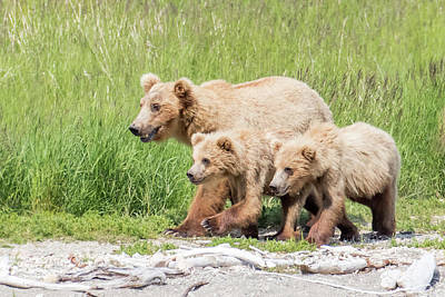 Photograph - Bears On The Prowl by Phil Stone