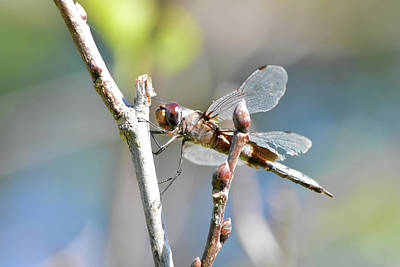 Photograph - Beat Up Dragonfly by William Tasker