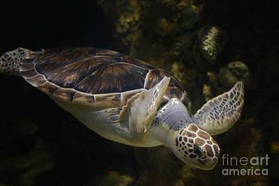 Beautifu Sea Turtle Art Print by Paulette Thomas