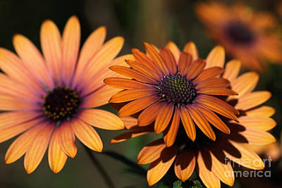 Photograph - Beautiful African Daisy Zion Red Flowering Bright by Joy Watson
