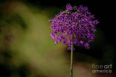 Photograph - Beautiful Alium by Cheryl Baxter