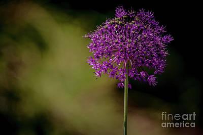 Photograph - Beautiful Alium by Cheryl Baxter