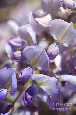 Photograph - Beautiful And Magical Wisteria  by Joy Watson