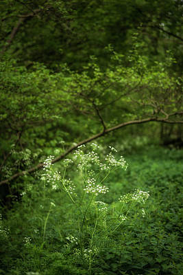 Cow Parsley Wall Art - Photograph - Beautiful Artistic Landscape Image Of Spring Forest Lush Green L by Matthew Gibson