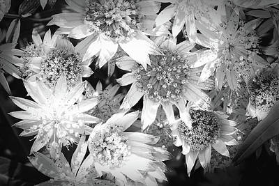Photograph - Beautiful Astrantia In Black And White by Nareeta Martin