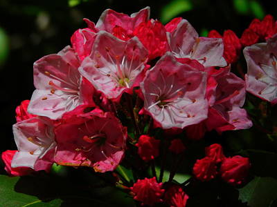 Photograph - Beautiful Azaleas by Catherine Gagne